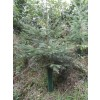 NOrway Spruce in a Continental Fine Mesh Shelter